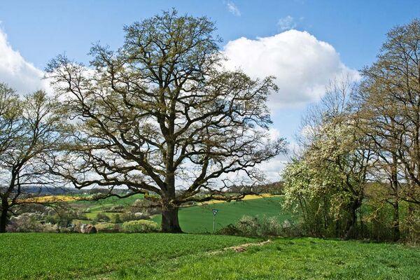 20140408-2223-F_eine ueber 300 Jahre alte Eiche an der Schienhecke bei Dittlofsroda(Nr_ 78 in der Liste der Naturdenkmaeler des Landkreises Bad Kissin