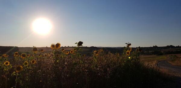 Sonnenblumen bei Völkersleier