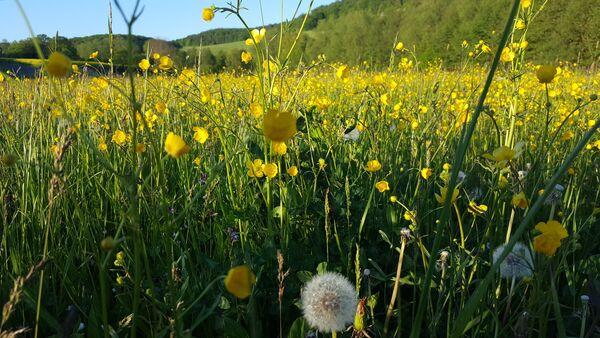 Butterblumen im Klingenbach in WH, Susanne Siebenlist