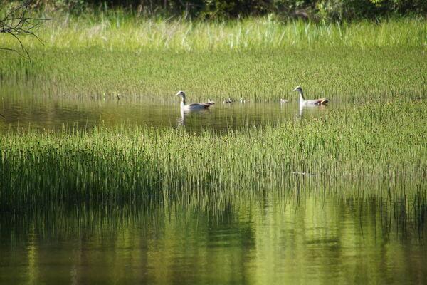 Nilgänse am Waizenbacher See, Lothar Kiennen
